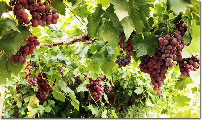 芳草湖农场职工喜收葡萄