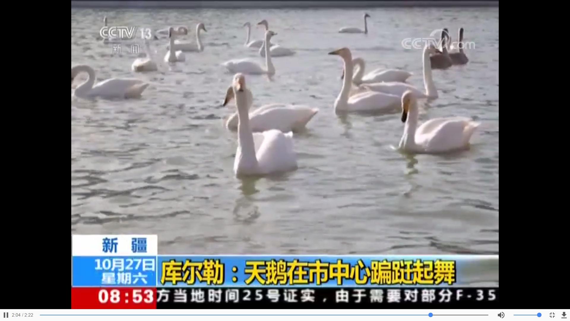 新疆库尔勒:天鹅在市中心翩跹起舞