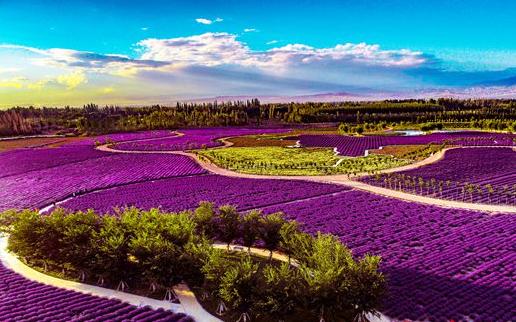 中国薰衣草之乡:飘香的紫色浪漫