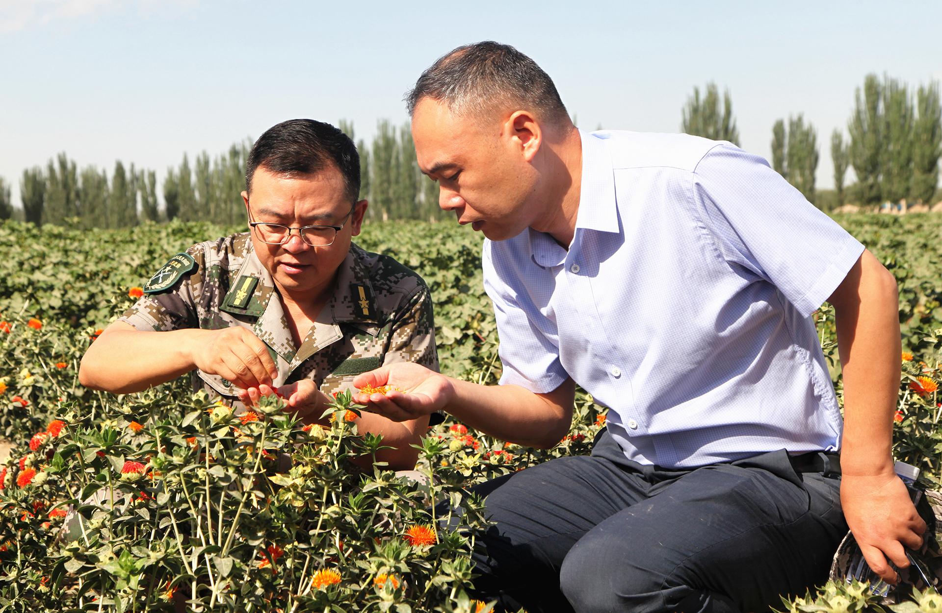 红花在一师阿拉尔市试种成功