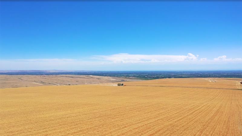 航拍新疆:麦浪滚滚!霍尔果斯2.3万亩小麦开镰收割