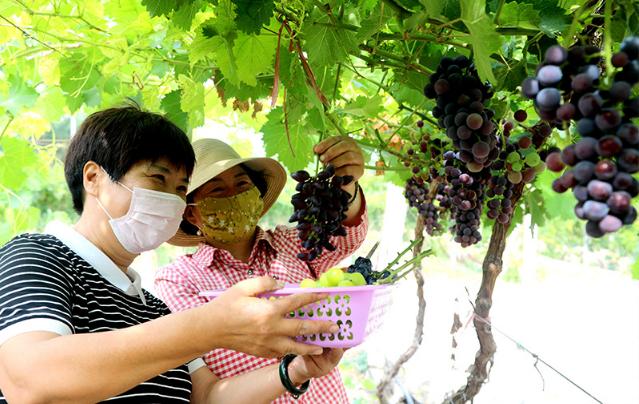 六师一〇一团万亩葡萄基地葡萄成熟
