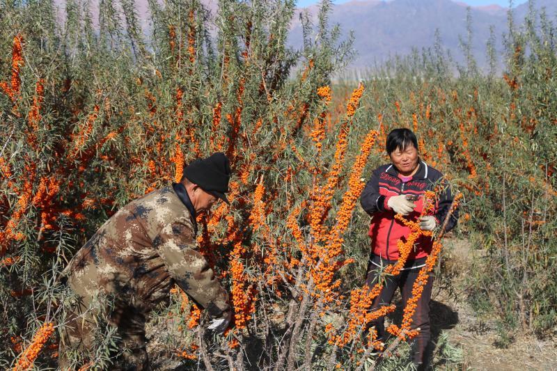 一七〇团沙棘实现生态效益和经济效益双丰收