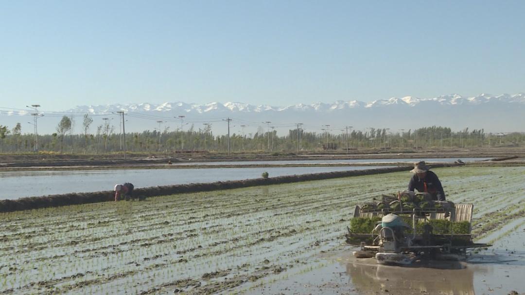 四师六十八团9万亩水稻插秧工作全面展开