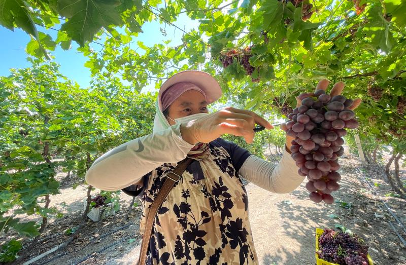 五师双河市葡萄进入采收季